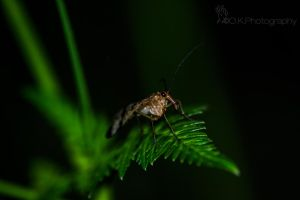 Scorpionfly by OlegKPhotography