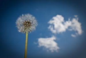 dandelion by andreasbf