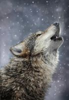 Wolf by fabius72
