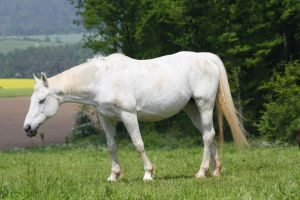Horse Collection: White 11 by Germanstock