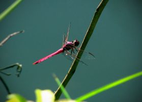 pink dragonfly by idrawnaked