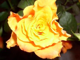 Orange rose. by Jwpepr
