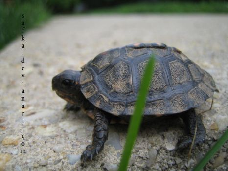 baby turtle by safka