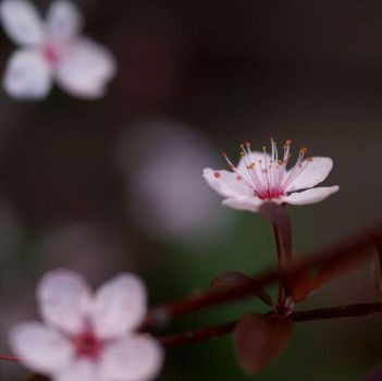 pink blossom by aambience
