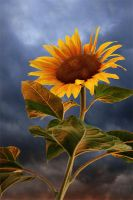sunflower at sunset by Floriandra