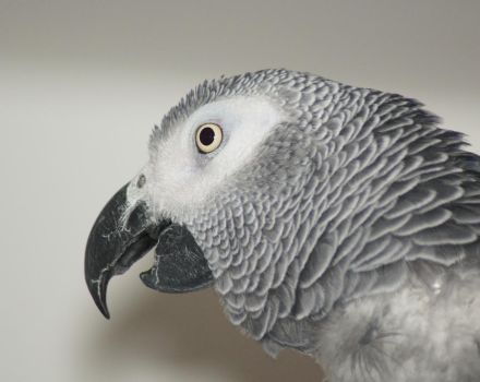 African Grey Parrot by little--grasshopper