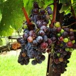 grapes by srobb18