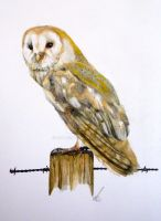 Barn Owl by salt25