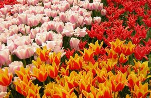 Tulips Of Turkiye by Canankk