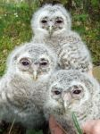 Tawny owls I by Epic-stock