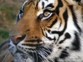 Tony the Tiger 1 by VisibleBeauty