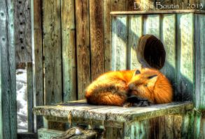 Fire Fox - HDR by InOnesMindsEye