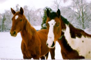 Horses in Snow by Anthemgirl