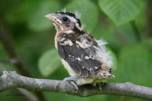 Rose-breasted Grosbeak chick by natureguy