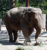 Denver Zoo 298 Elephant by Falln-Stock