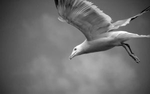 Wallpaper: Gull by spendavis