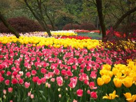 Tulips at West Lake, Hangzhou by phantastes