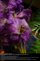 Purple Gladiolas Waterdroplets Stock 5 - Dragonfly by Melyssah6-Stock