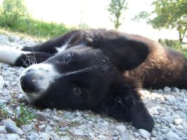 Border Collie Pup 4 by TheMidasTouch