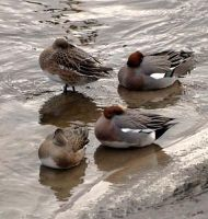 sleeping wigeon by piglet365