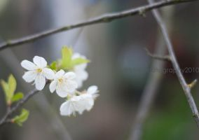 Cherry Blossoms II by MaePhotography2010