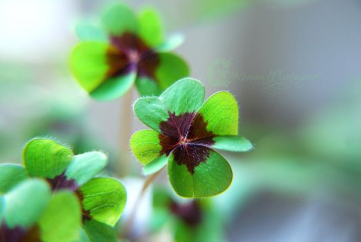 Shamrocks by RowanLewgalon