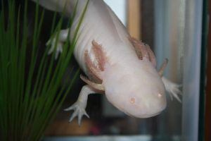 Slimey the Axolotl by jenjenownsyou