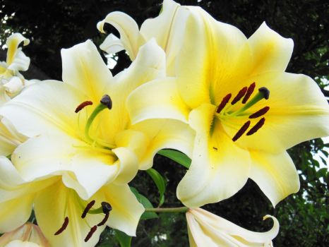 Yellow and White Lilies by WillFactorMedia