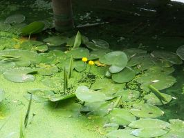Water Lilies For Stock by EXOstock