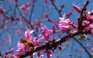 Red Bud And Bee by kpt