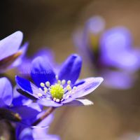 Blue Flowers by nnIKOO