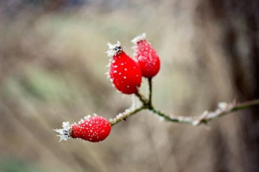 Berries in winter by CutiieePiiee