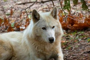 Arctic Wolf by Turrdle