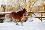 Haflinger in Snow II by Colourize