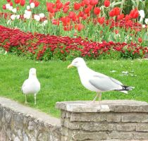 Tulips and seagulls by morana-stock
