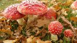 Amanita muscaria by Light-Lein