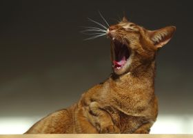 Yawning Cat Stock 20140308 by FurLined