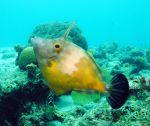 White-spotted filefish, orange phase by g--f