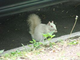 White Squirrel Stock 6 by Ahyicodae-stock