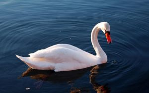 Swan Water Feathers Swimming By Jeinex by jeinex