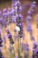 Snail on lavender by oxalysa