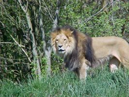king of the jungle by starchild777