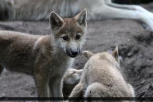 Hudson Bay Wolf 206 by Canisography