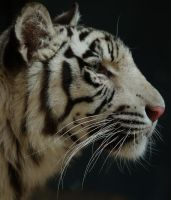 White Tiger Profile by FullofSecrets