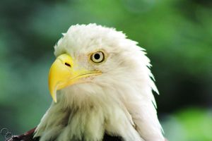 portland oregon zoo jack the bald eagle by ringmale
