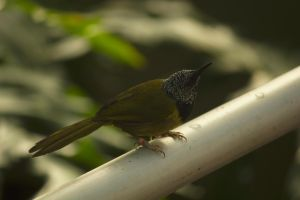 Oriole Warbler: 2014 March by toshema