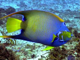 Queen Angel Fish- Colombia Deep by NaiveLibrarian