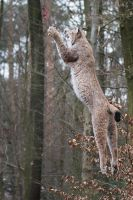 Lynx, Pforzheim VIX by FGW-Photography