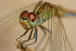 Dragonfly 2 by Snelvis