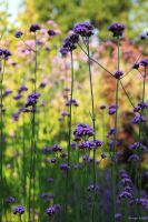 Morning Verbena by George---Kirk